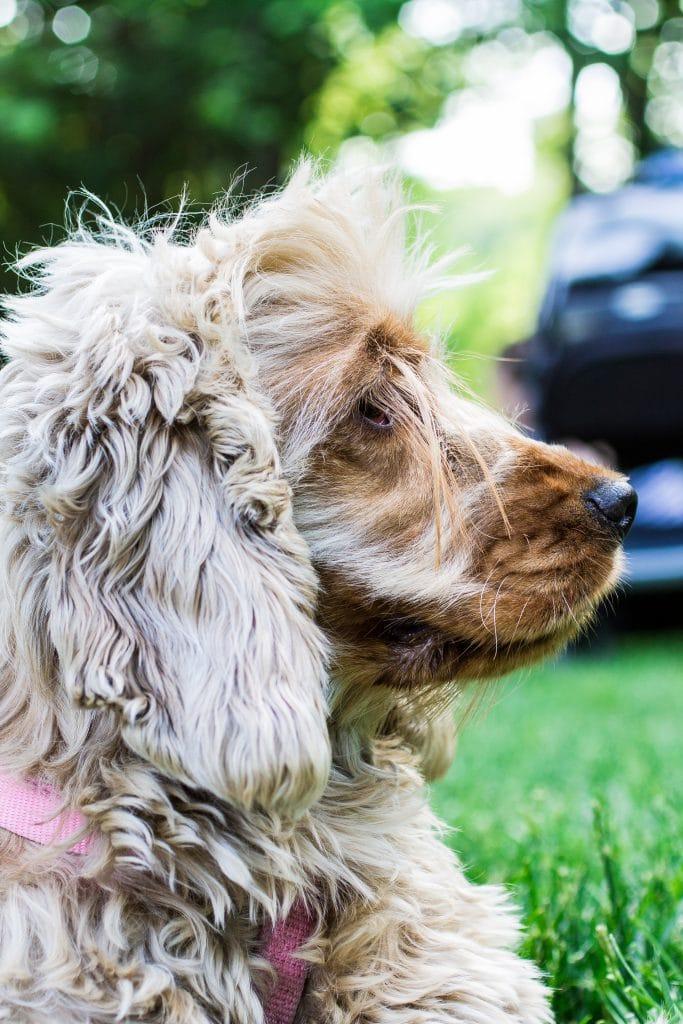 A Dog Named Lola | www.oliviascuisine.com | #IamsCG #ad